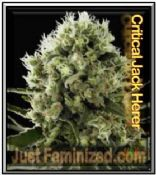 Feminized Critical Jack Herer Cannabis Seeds for sale online